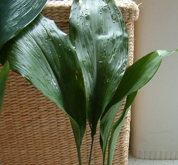 Blog plano plano plantas dentro de casa folhagens e - Plantas grandes para interiores ...