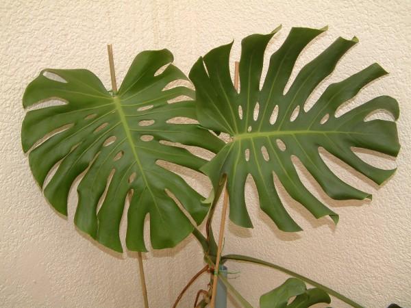 Blog plano plano plantas dentro de casa folhagens e flores pt 2 - Plantas resistentes de interior ...