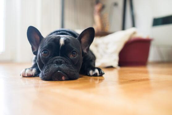 Cachorro para apartamento
